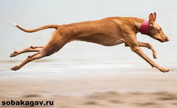 Фараонова-собака-Описание-особенности-уход-и-цена-фараоновой-собаки-4