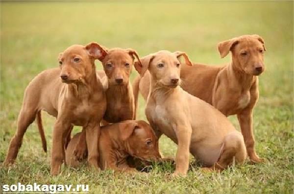 Фараонова-собака-Описание-особенности-уход-и-цена-фараоновой-собаки-5