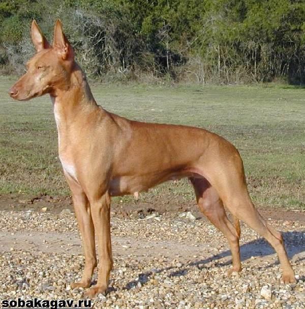 Фараонова-собака-Описание-особенности-уход-и-цена-фараоновой-собаки-7
