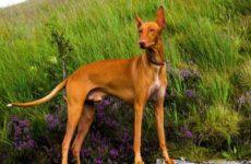 Фараонова собака. Описание, особенности, уход и цена фараоновой собаки