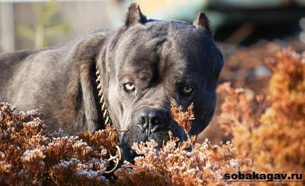 Кане-корсо-собака-Описание-особенности-уход-и-цена-кане-корсо-3