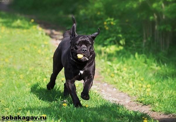 Кане-корсо-собака-Описание-особенности-уход-и-цена-кане-корсо-4