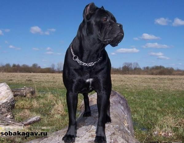 Кане-корсо-собака-Описание-особенности-уход-и-цена-кане-корсо-5