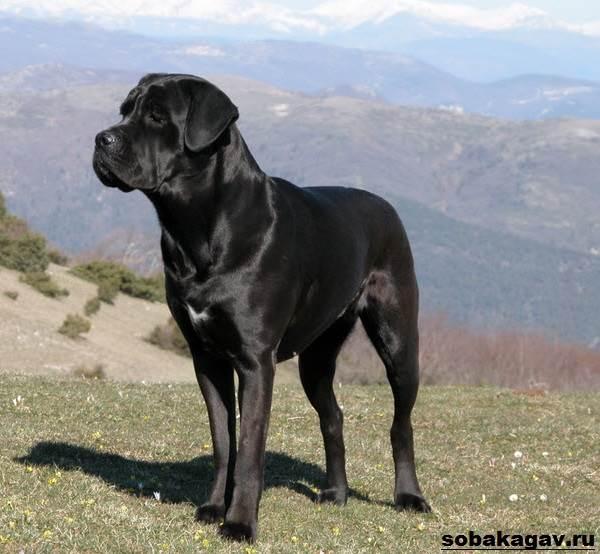 порода собака кане корсо