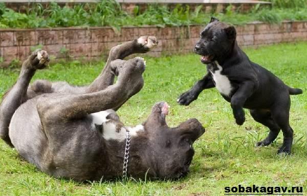 Кане-корсо-собака-Описание-особенности-уход-и-цена-кане-корсо-9