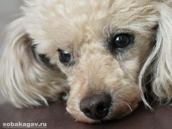 Карликовый-пудель-собака-Описание-особенности-уход-и-цена-карликового-пуделя-1
