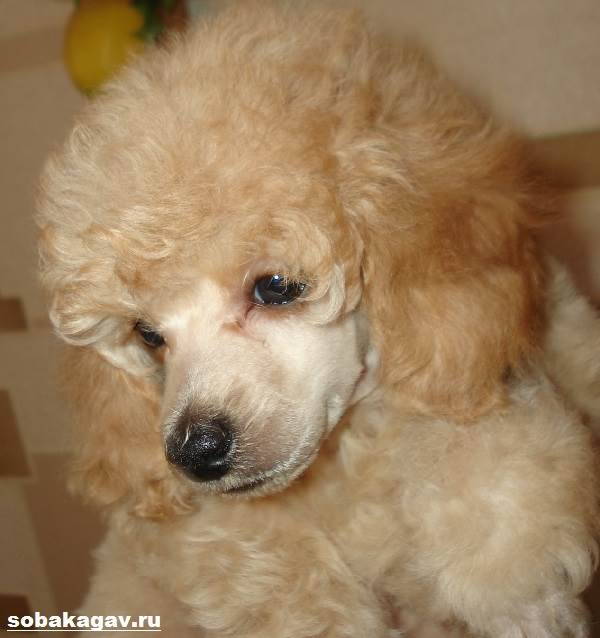 Карликовый-пудель-собака-Описание-особенности-уход-и-цена-карликового-пуделя-2