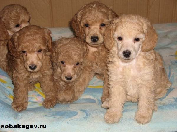 Карликовый-пудель-собака-Описание-особенности-уход-и-цена-карликового-пуделя-4
