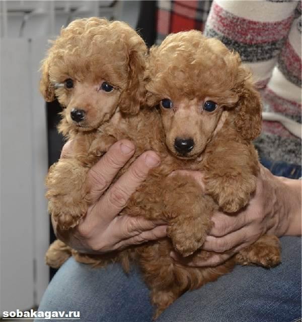 Карликовый-пудель-собака-Описание-особенности-уход-и-цена-карликового-пуделя-5