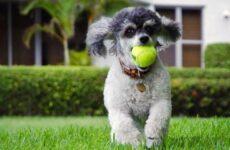 Карликовый пудель собака. Описание, особенности, уход и цена карликового пуделя