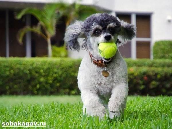 Карликовый-пудель-собака-Описание-особенности-уход-и-цена-карликового-пуделя-6