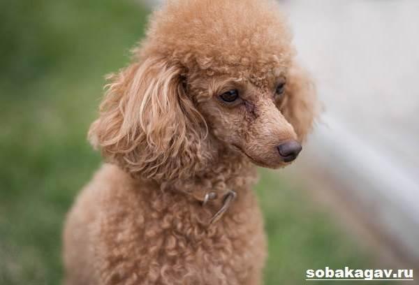 Карликовый-пудель-собака-Описание-особенности-уход-и-цена-карликового-пуделя-7
