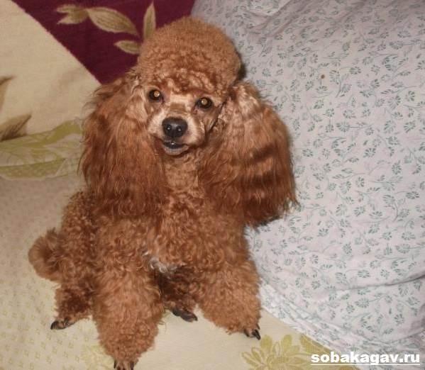 Карликовый-пудель-собака-Описание-особенности-уход-и-цена-карликового-пуделя-8