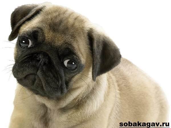 Мопс-собака-Описание-особенности-уход-и-цена-мопса-1