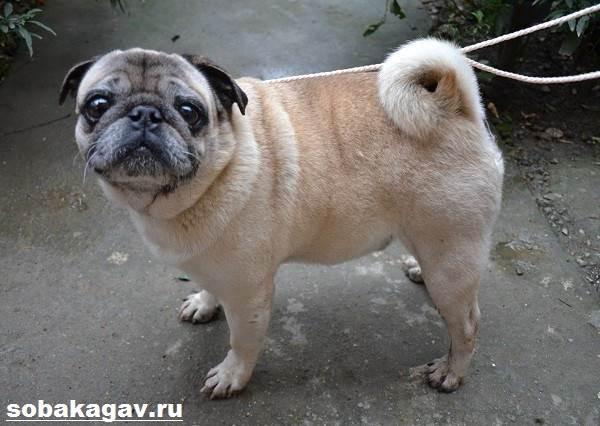 Мопс-собака-Описание-особенности-уход-и-цена-мопса-10