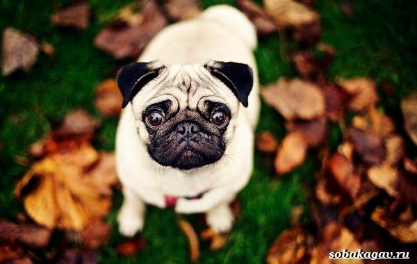 Мопс-собака-Описание-особенности-уход-и-цена-мопса-12