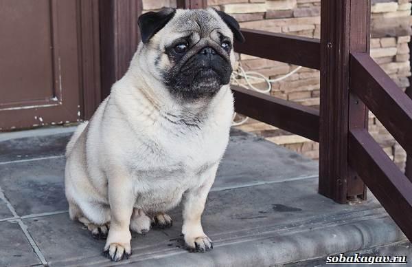 Мопс-собака-Описание-особенности-уход-и-цена-мопса-14
