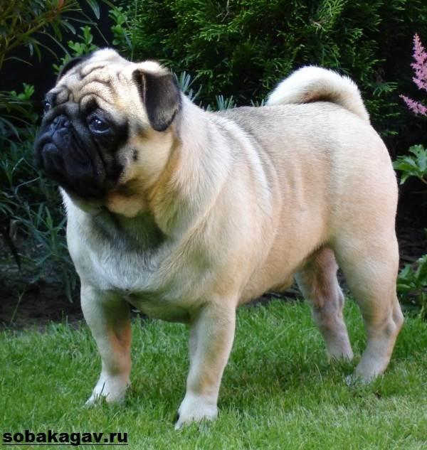Мопс-собака-Описание-особенности-уход-и-цена-мопса-2