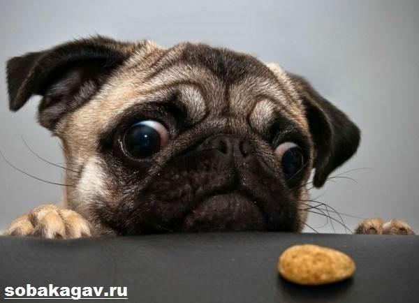 Мопс-собака-Описание-особенности-уход-и-цена-мопса-3