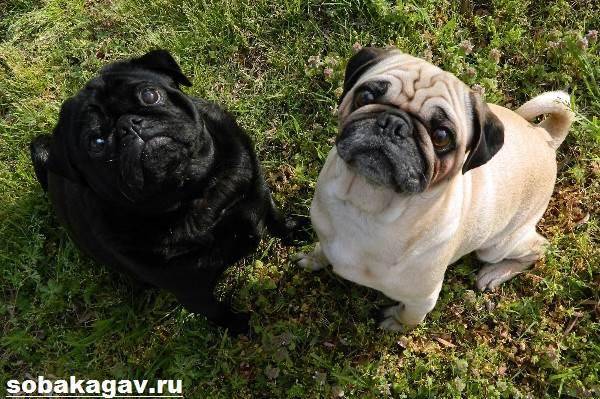 Мопс-собака-Описание-особенности-уход-и-цена-мопса-4