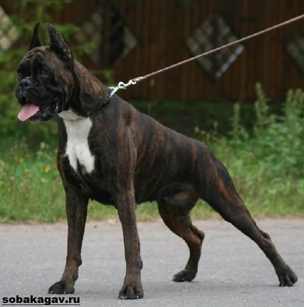 Немецкий-боксер-собака-Описание-особенности-уход-и-цена-немецкого-боксера-1
