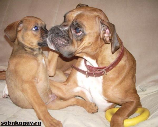 Немецкий-боксер-собака-Описание-особенности-уход-и-цена-немецкого-боксера-7