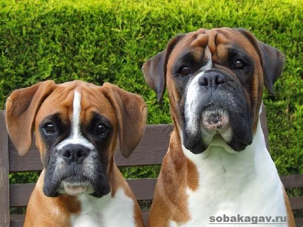 Немецкий-боксер-собака-Описание-особенности-уход-и-цена-немецкого-боксера-8