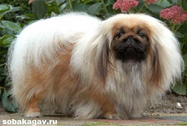 Пекинес-собака-Описание-особенности-уход-и-цена-пекинеса-10