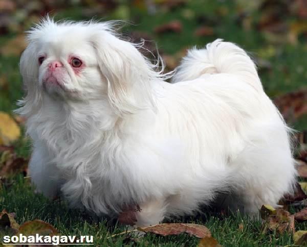 Пекинес-собака-Описание-особенности-уход-и-цена-пекинеса-2