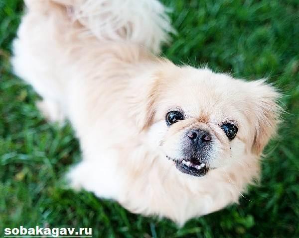 Пекинес-собака-Описание-особенности-уход-и-цена-пекинеса-3