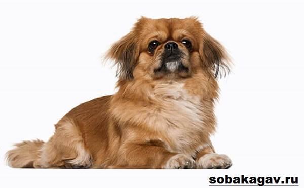 Пекинес-собака-Описание-особенности-уход-и-цена-пекинеса-4
