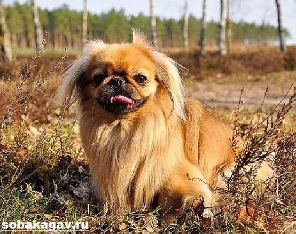 Пекинес-собака-Описание-особенности-уход-и-цена-пекинеса-5