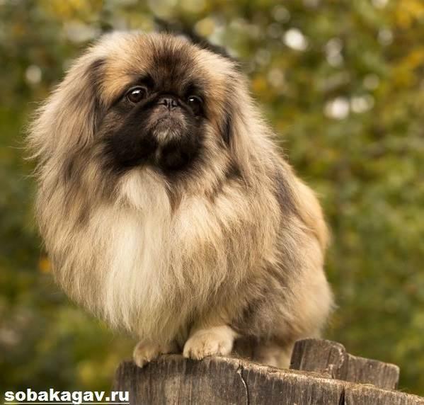Пекинес-собака-Описание-особенности-уход-и-цена-пекинеса-6