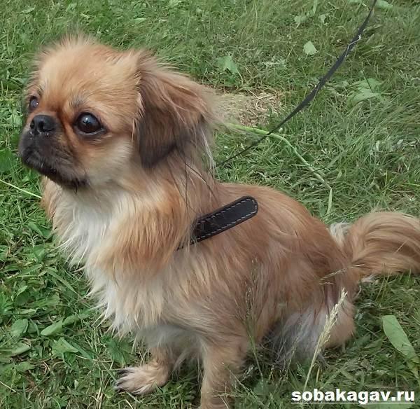 Пекинес-собака-Описание-особенности-уход-и-цена-пекинеса-7