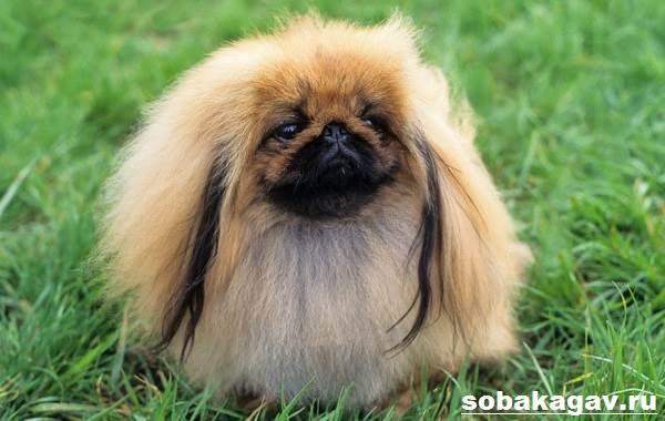Пекинес-собака-Описание-особенности-уход-и-цена-пекинеса-8