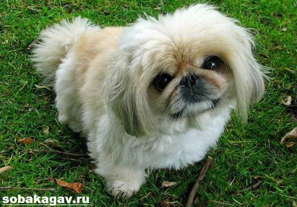 Пекинес-собака-Описание-особенности-уход-и-цена-пекинеса-9