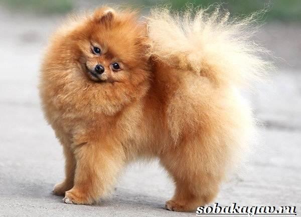 Померанский-шпиц-собака-Описание-особенности-уход-и-цена-померанского-шпица-1