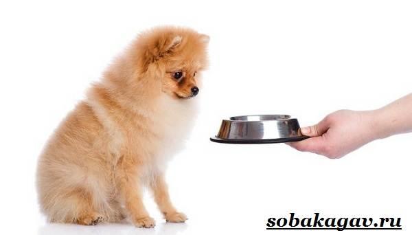 Померанский-шпиц-собака-Описание-особенности-уход-и-цена-померанского-шпица-10