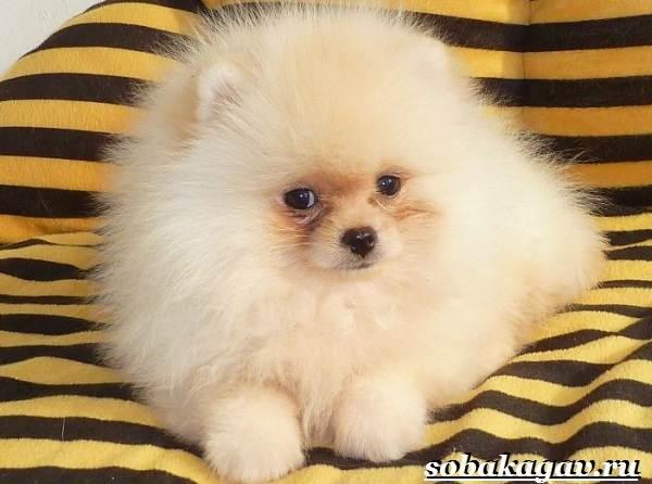 Померанский-шпиц-собака-Описание-особенности-уход-и-цена-померанского-шпица-11