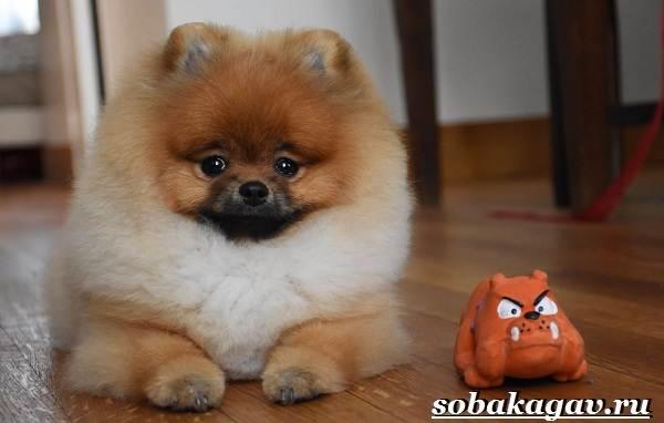 Померанский-шпиц-собака-Описание-особенности-уход-и-цена-померанского-шпица-18