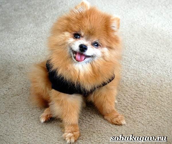 Померанский-шпиц-собака-Описание-особенности-уход-и-цена-померанского-шпица-2