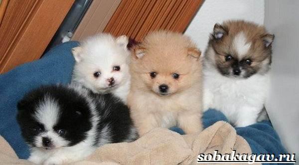 Померанский-шпиц-собака-Описание-особенности-уход-и-цена-померанского-шпица-3
