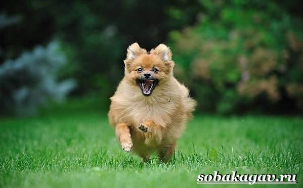 Померанский-шпиц-собака-Описание-особенности-уход-и-цена-померанского-шпица-5