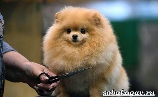 Померанский-шпиц-собака-Описание-особенности-уход-и-цена-померанского-шпица-6