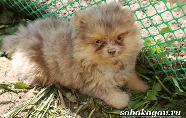 Померанский-шпиц-собака-Описание-особенности-уход-и-цена-померанского-шпица-7