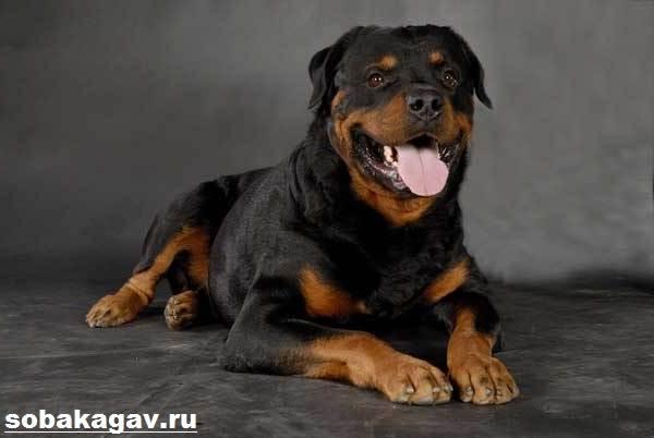 Ротвейлер-собака-Описание-особенности-уход-и-цена-ротвейлера-1