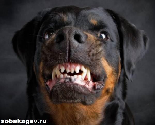 Ротвейлер-собака-Описание-особенности-уход-и-цена-ротвейлера-10