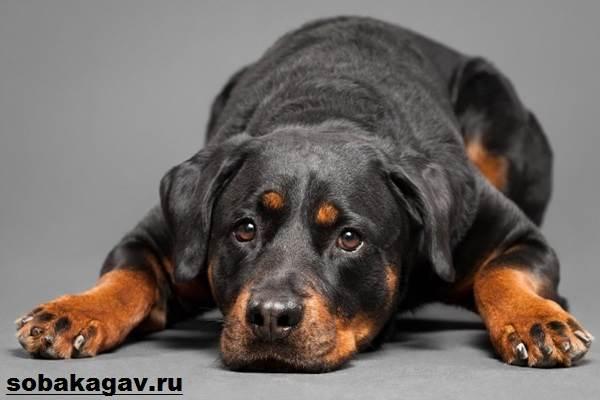 Ротвейлер-собака-Описание-особенности-уход-и-цена-ротвейлера-2