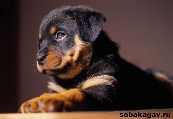 Ротвейлер-собака-Описание-особенности-уход-и-цена-ротвейлера-3