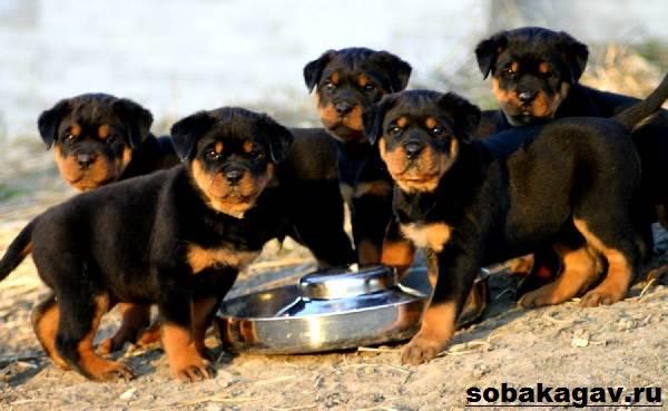 Ротвейлер-собака-Описание-особенности-уход-и-цена-ротвейлера-4
